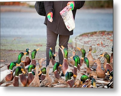 Woman Feeding Mallard Ducks Metal Print by Ashley Cooper