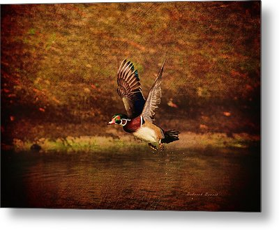 Wood Duck Taking Off Metal Print by Deborah Benoit