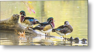 Wood-ducks Panorama Metal Print by Mircea Costina Photography