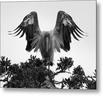 Wood Stork Spread Metal Print