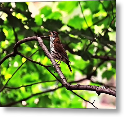 Wood Thrush Singing Metal Print