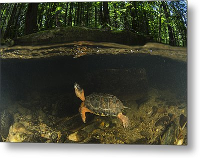 Wood Turtle Swimming North America Metal Print by Pete Oxford