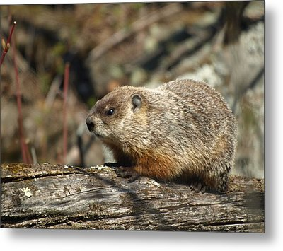 Metal Print featuring the photograph Woodchuck by James Peterson