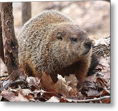 Woodchuck Watching Metal Print