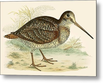 Woodcock Metal Print by Beverley R Morris