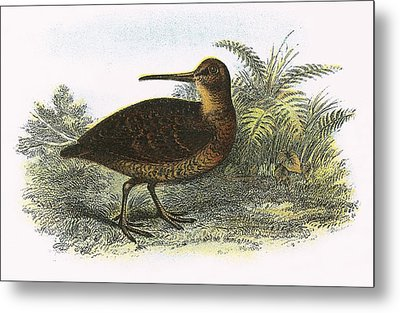 Woodcock Metal Print by English School