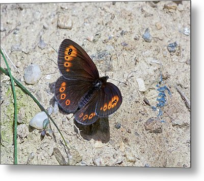 Woodland Ringlet Butterfly Metal Print
