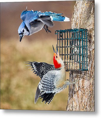 Woodpeckers And Blue Jays Square Metal Print by Bill Wakeley