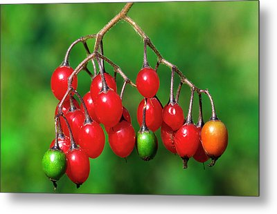 Woody Nightshade Or Bittersweet Metal Print