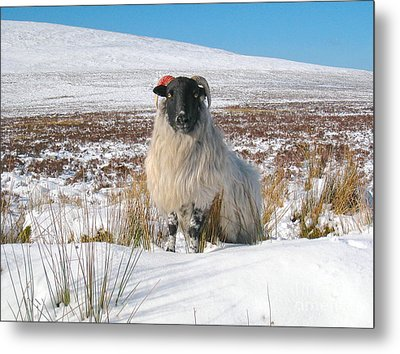 Woolly Red Metal Print by Suzanne Oesterling