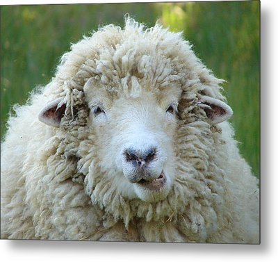 Wooly Sheep Metal Print by Ramona Johnston