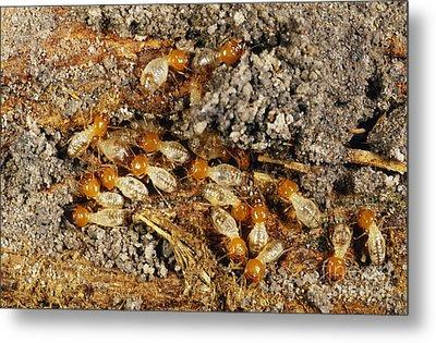Worker Termites Metal Print