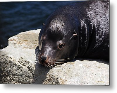 Wounded Sea Lion Resting Metal Print