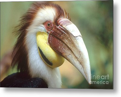 Wreathed Hornbill Metal Print by Art Wolfe