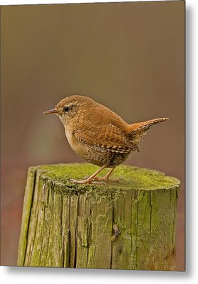 Wren Metal Print by Paul Scoullar