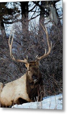 Wyoming Elk Metal Print