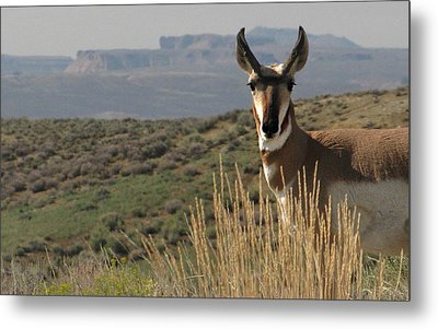 Wyoming Pronghorn Metal Print