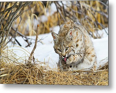 Wyoming, Sublette County, Bobcat Metal Print