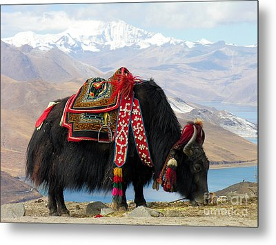Yak Near Yamdrok Lake Tibet Metal Print