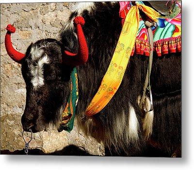 Yak Wearing Knitted Decorative Horn Metal Print by Jaina Mishra