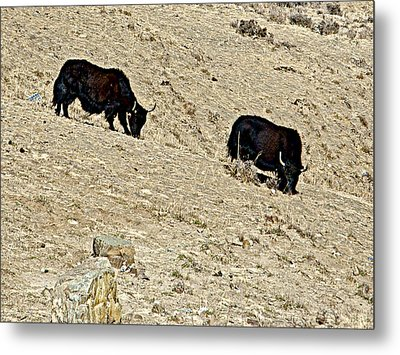 Yaks In Himalayas Along Friendship Highway-tibet   Metal Print by Ruth Hager