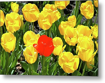Yellow And One Red Tulip Metal Print by Ed  Riche