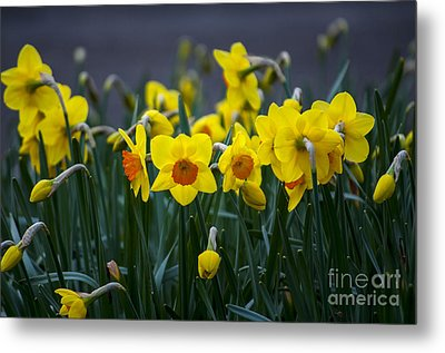 Yellow And Orange Daffodils Metal Print by Mandy Judson