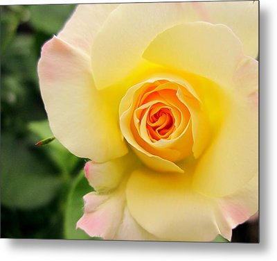 Yellow And Pink Beauty  Metal Print