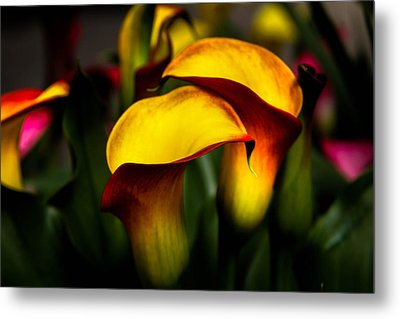 Yellow And Red Calla Lily Metal Print by Menachem Ganon