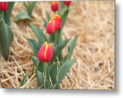 Yellow And Red Tulip - 01132 Metal Print