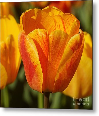 Yellow And Red Tulip 2 Metal Print by Rudi Prott