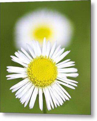 Yellow And White Daisy Metal Print by Jennifer Lamanca Kaufman