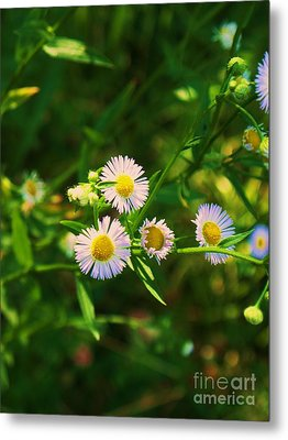 Yellow And White Dasies Metal Print by Eric  Schiabor