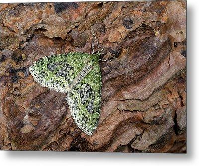 Yellow-barred Brindle Moth Metal Print by Nigel Downer
