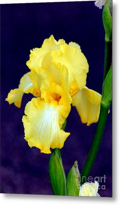 Yellow Bearded Iris Metal Print by Kathy  White