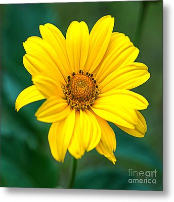 Yellow Beauty Metal Print by Alana Ranney