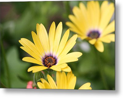 Yellow Beauty Metal Print by Sue Chisholm