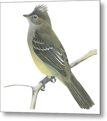 Yellow Bellied Elaenia  Metal Print by Anonymous