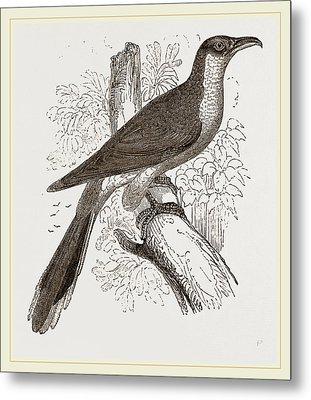 Yellow-billed Cuckoo Metal Print by Litz Collection