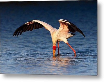 Yellow-billed Stork Hunting For Food Metal Print by Johan Swanepoel
