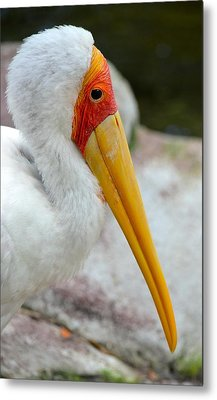 Yellow Billed Stork Metal Print by Richard Bryce and Family
