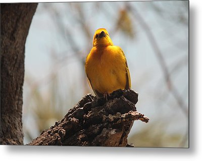 Yellow Bird In Trees Metal Print