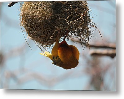 Yellow Bird Retuns To Nest Metal Print