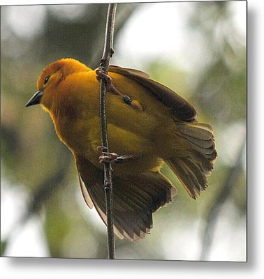 Yellow Bird Metal Print by Steve Archbold