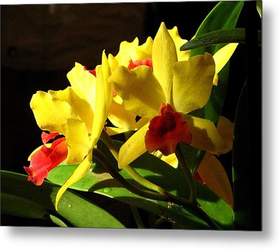 Yellow Cattleya Orchid Metal Print by Alfred Ng