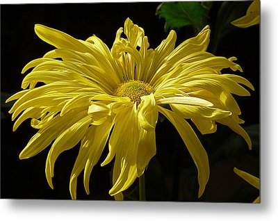 Yellow Chrysanthemum Metal Print