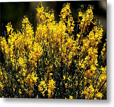 Yellow Cluster Flowers Metal Print by Matt Harang