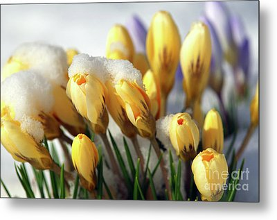 Yellow Crocuses In The Snow Metal Print by Sharon Talson