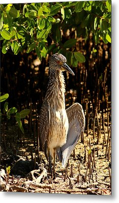 Yellow Crowned Night Heron Baby In The Mangroves Metal Print by Christiane Schulze Art And Photography