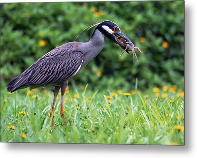 Yellow-crowned Night Heron With Crab Metal Print by Luis Esteves